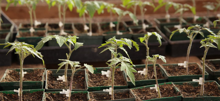 Grafted Transplants For Greenhouse Tomatoes